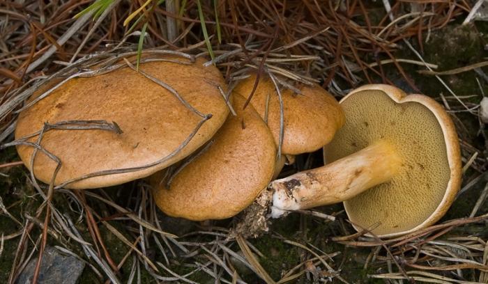 грибы козлята