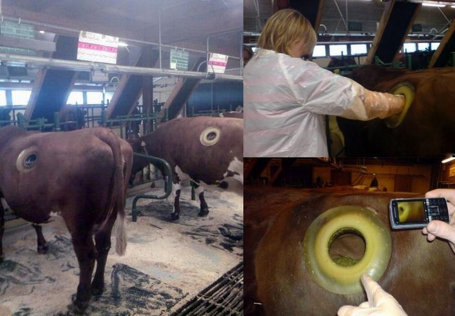 корова с дыркой в боку