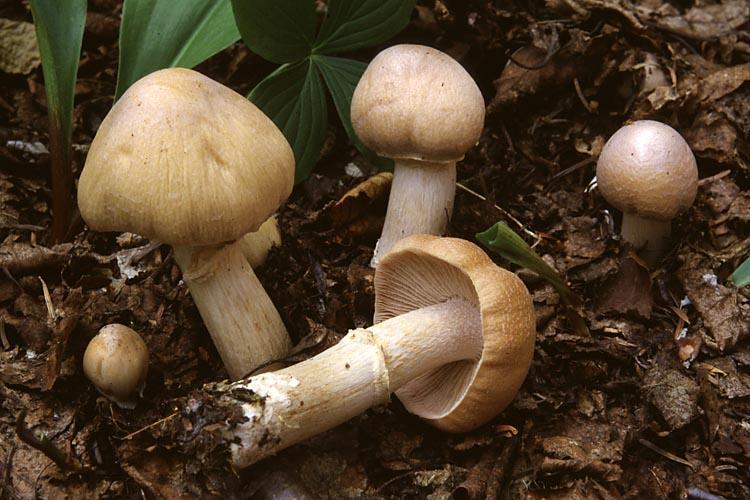 грибы курочки