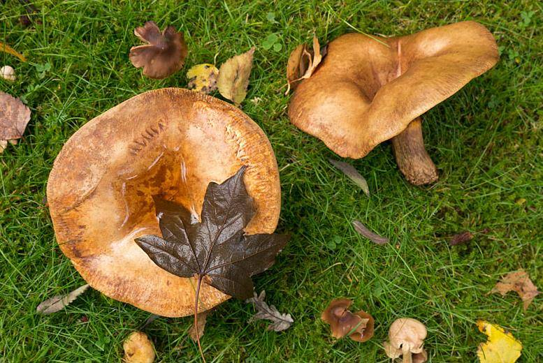 грибы свинушки