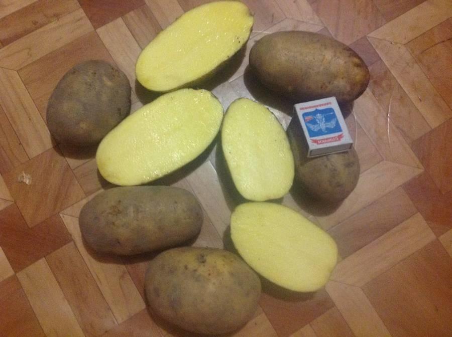 картофель бриз фото тому