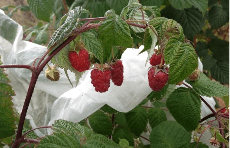 малина рубиновое ожерелье