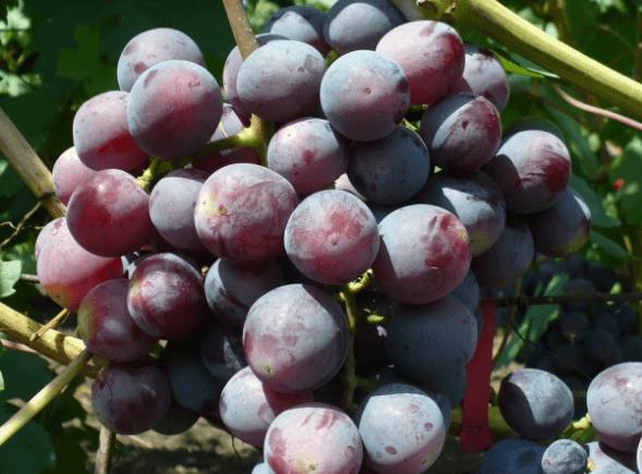 виноград подарок несветая