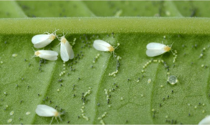 бабочки белокрылки