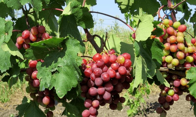 виноград памяти учителя