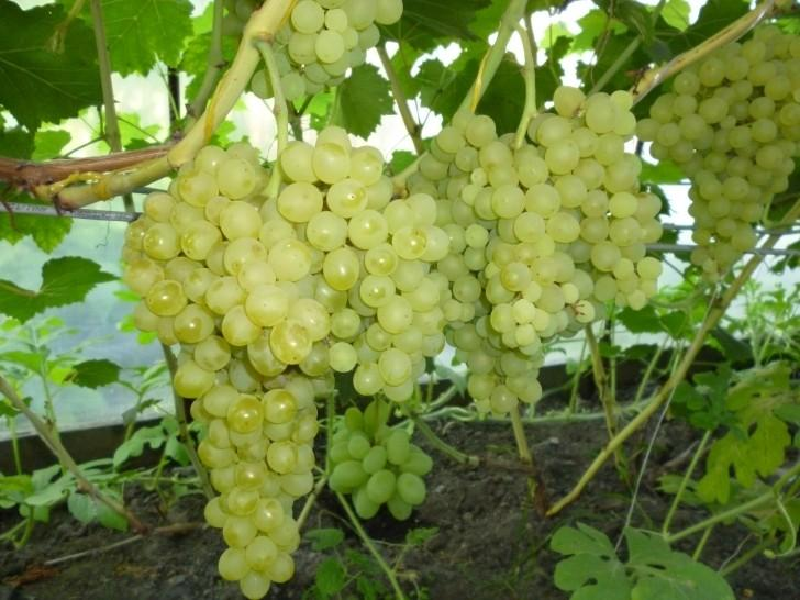виноград кишмиш 342