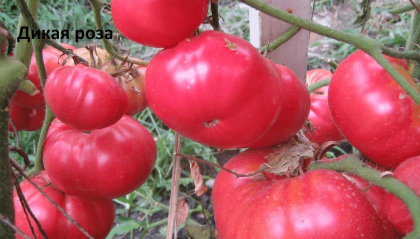 томат дикая роза