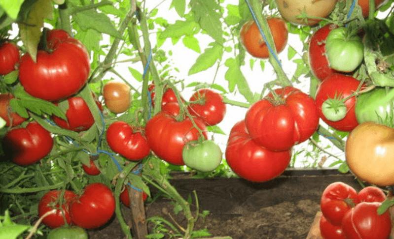 томат бабушкин секрет