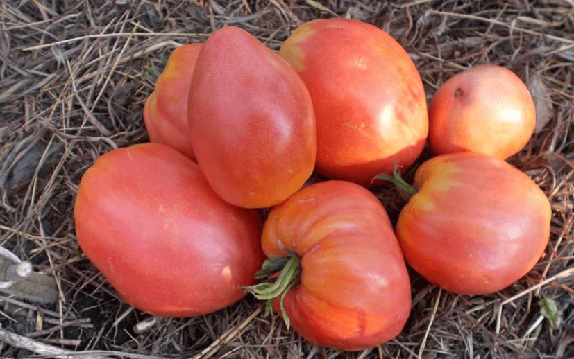 томат орлиный клюв