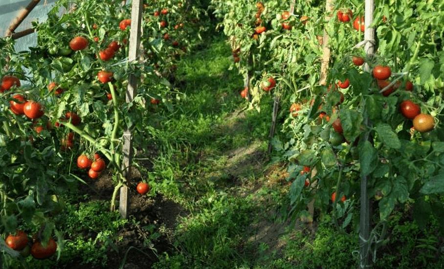 томат сибирский скороспелый