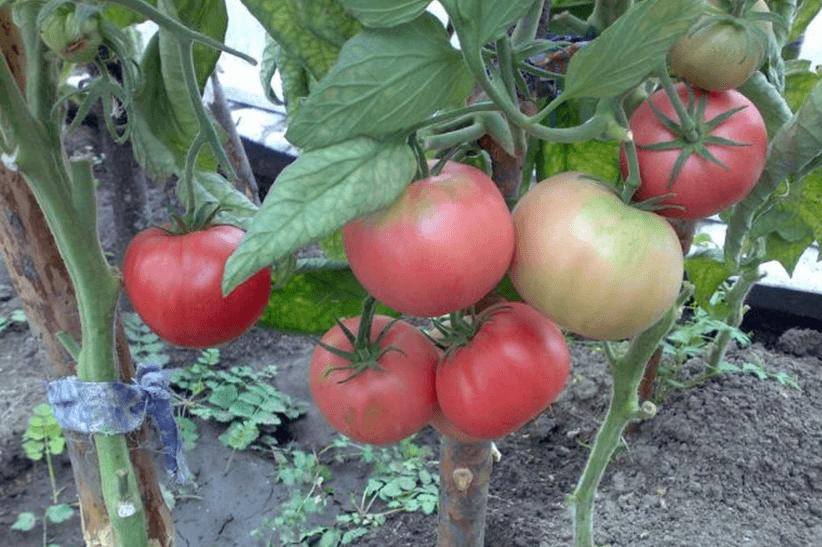 томат розовый слон