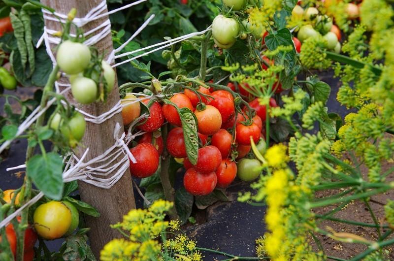 томат дубрава