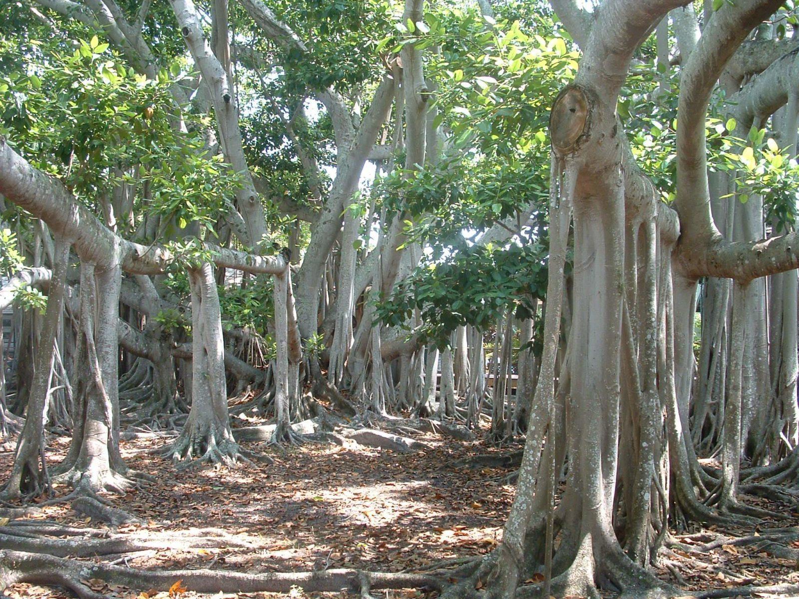 дерево сандала