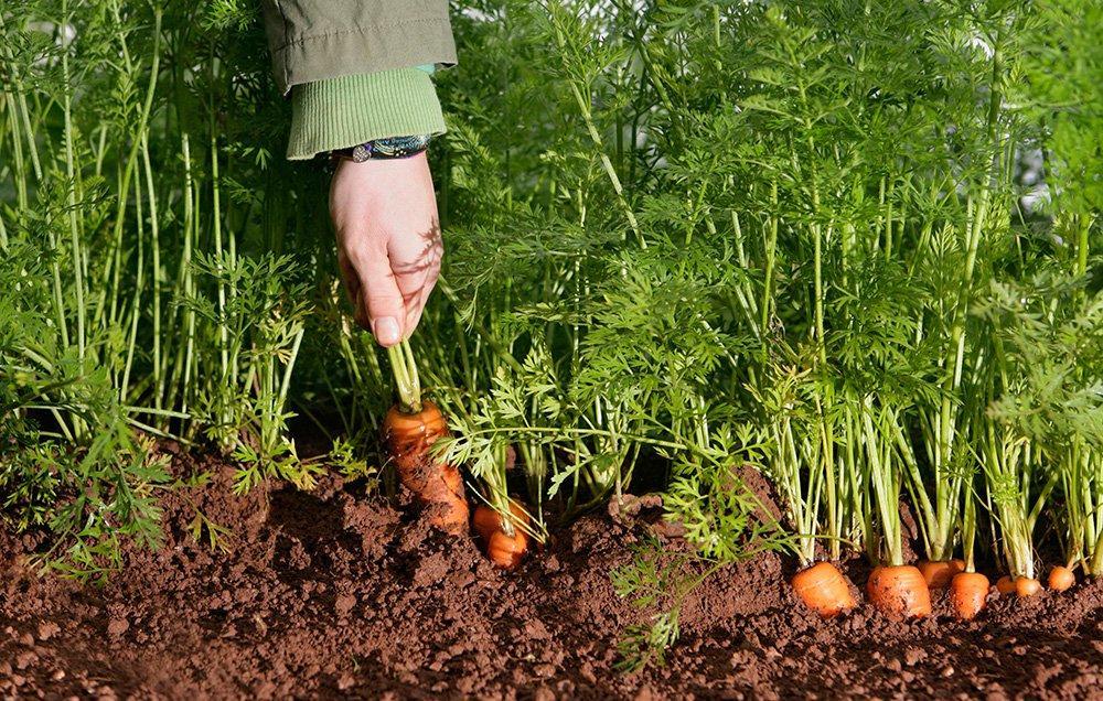 Фермерру выращивание моркови 92