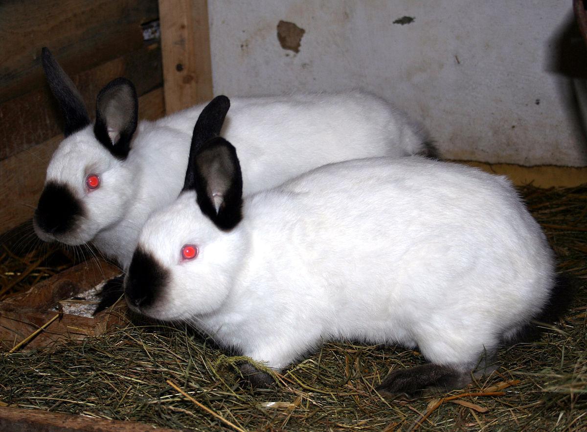 нас калифорнийская порода кроликов описание с фото кошки имеет