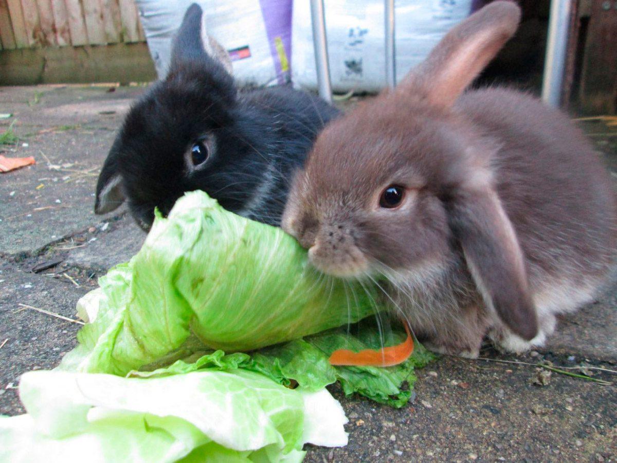 кролик ест