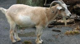 карликовая камерунская коза