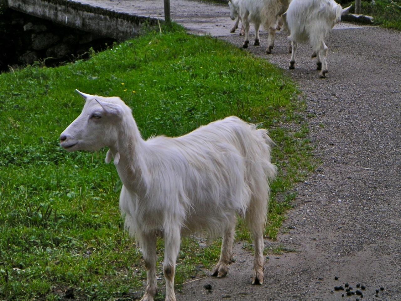 аппенцелльская коза