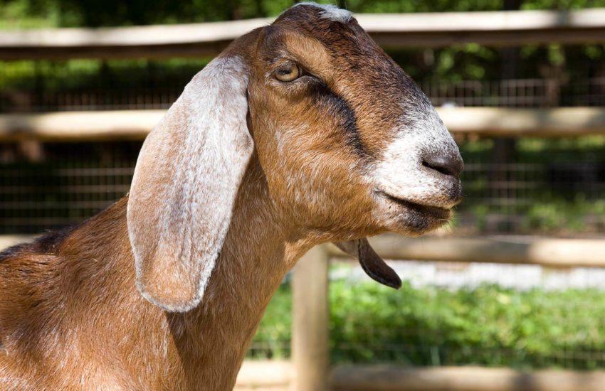 англо нубийская коза