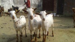 коза барбари