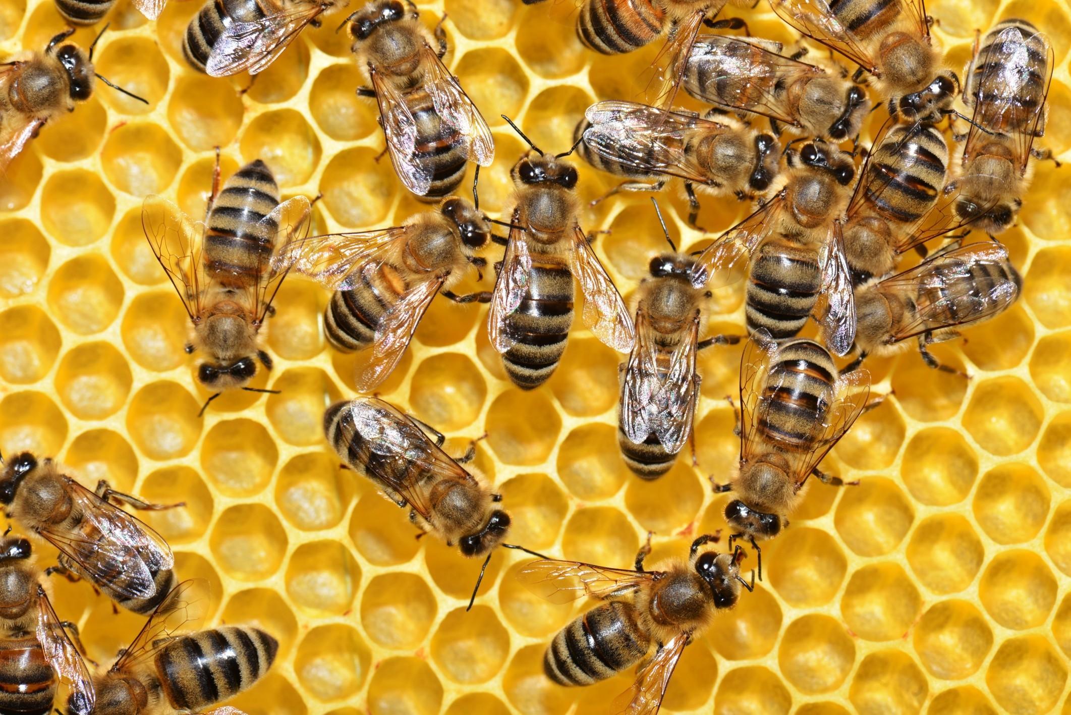 медовые пчелы