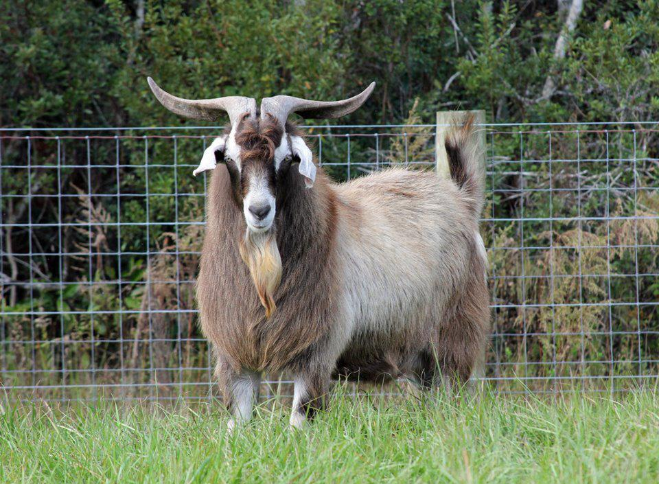 козы кико