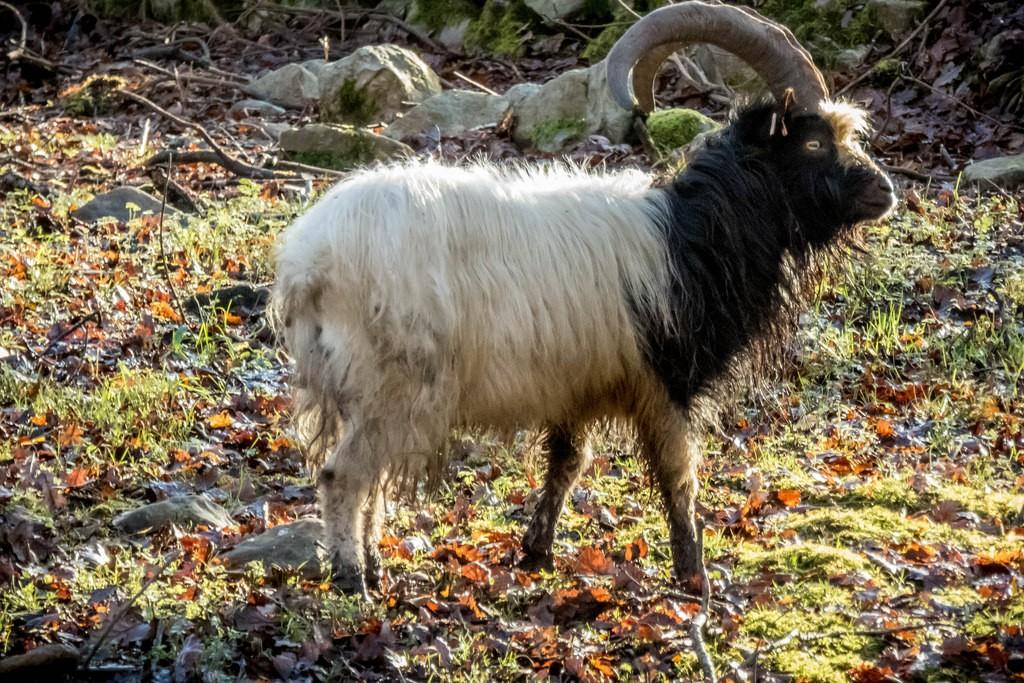 валлийская коза