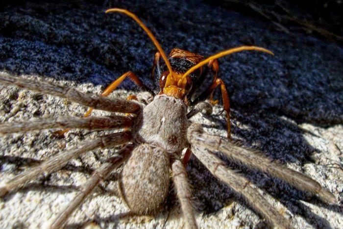 оса ест паука