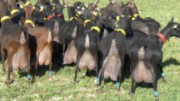 козы мурсия гранада