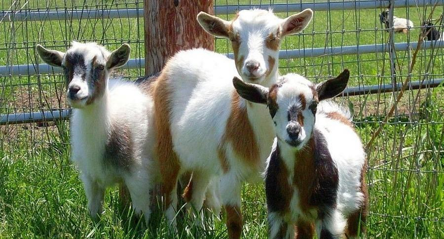 нигерийская карликовая коза