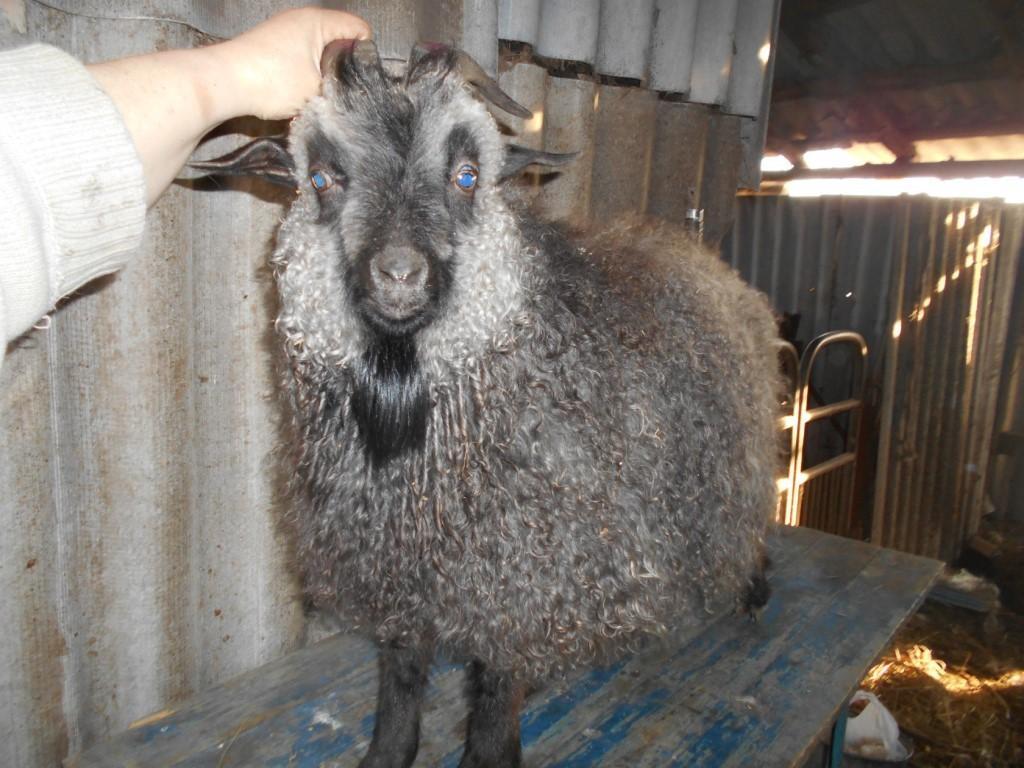 придонские козы