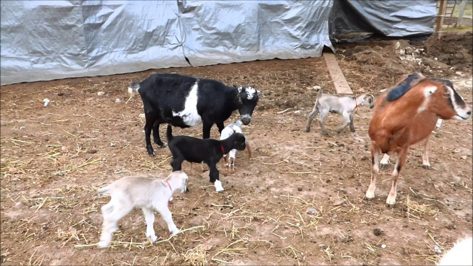 козы ламанча