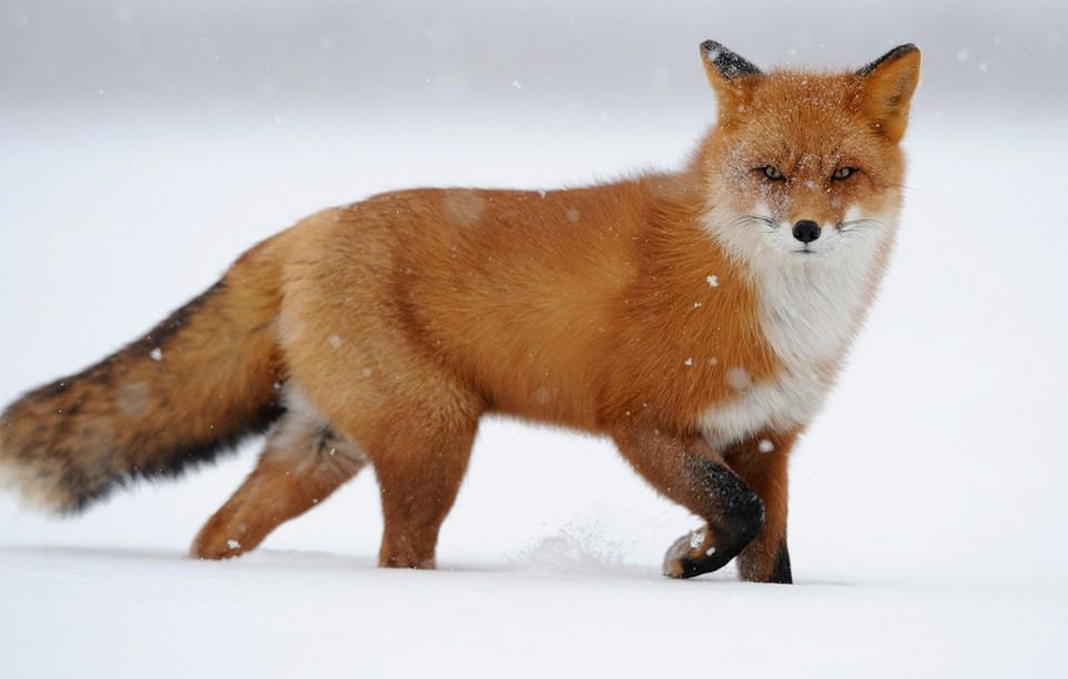 Ястреб может съесть лису