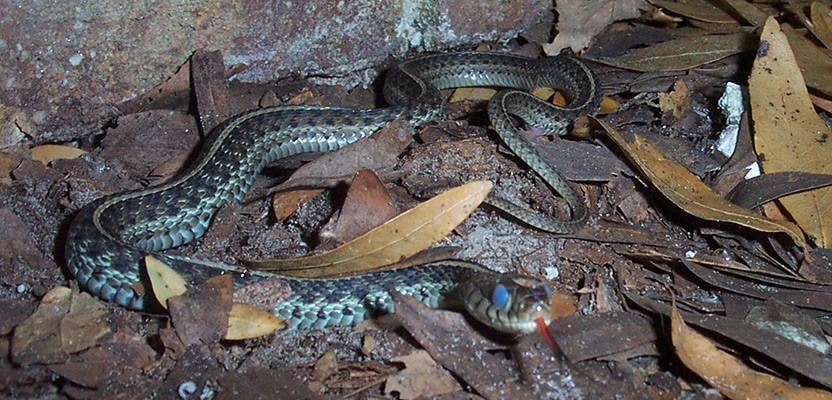 змея спит