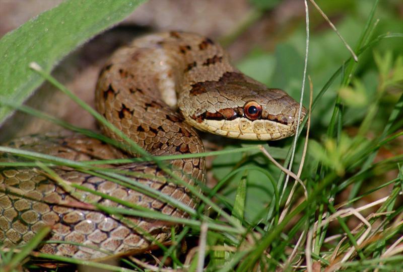 лук змея медянка фотографии столь красивого окраса