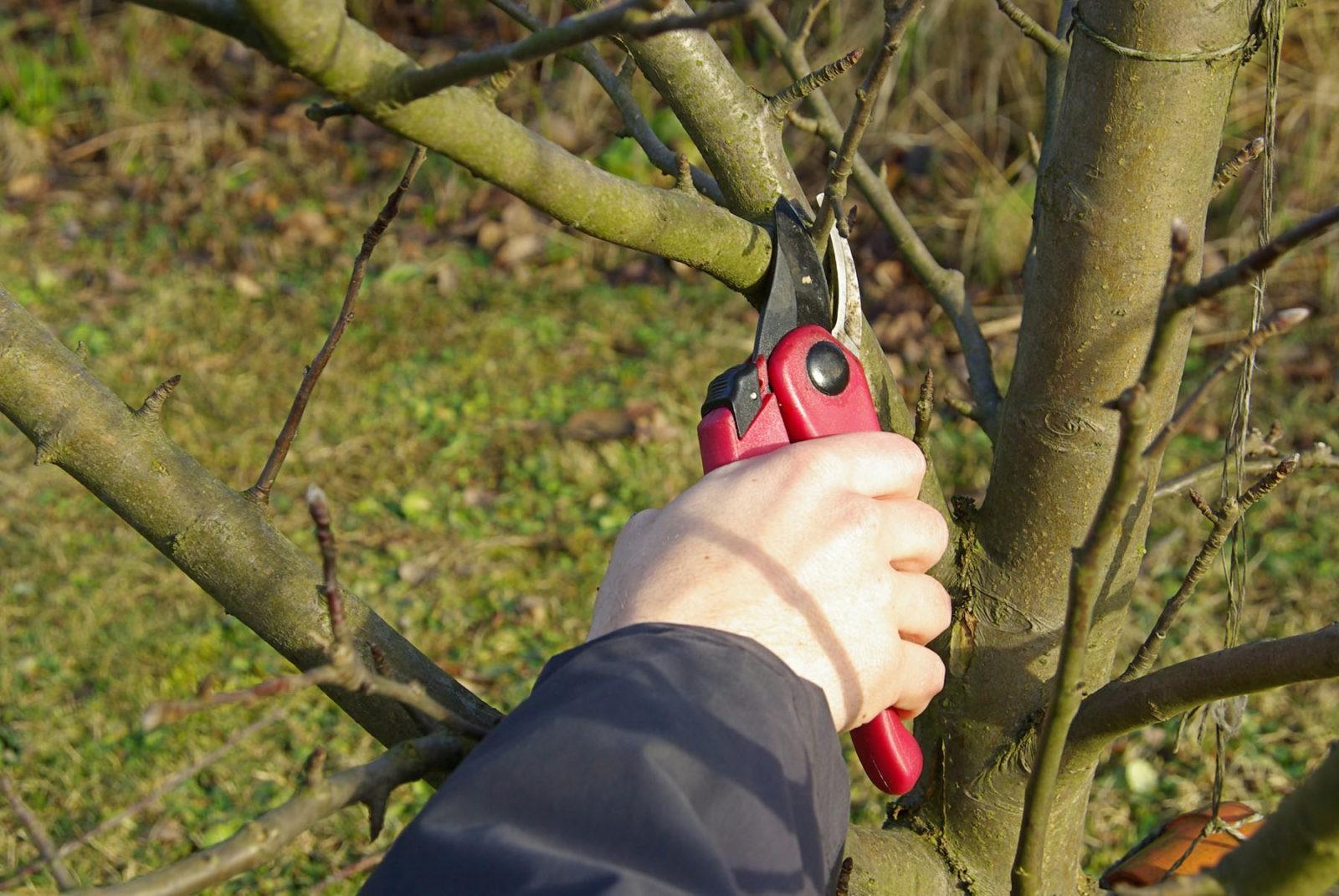 нормирование яблони
