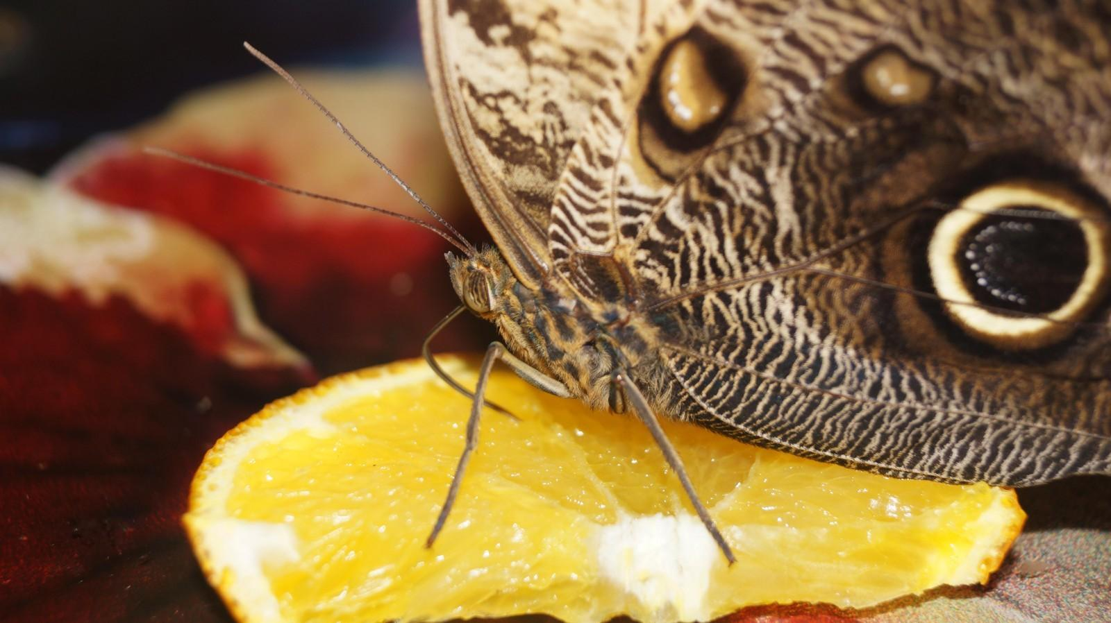 что едят бабочки