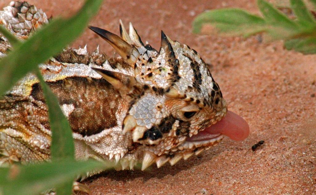 horned-lizard-clipart-texas-horned-lizards-15.jpg