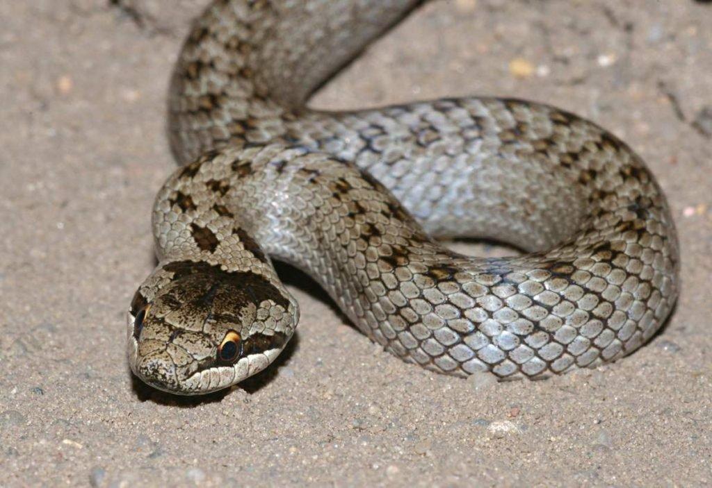 змея медянка обыкновенная
