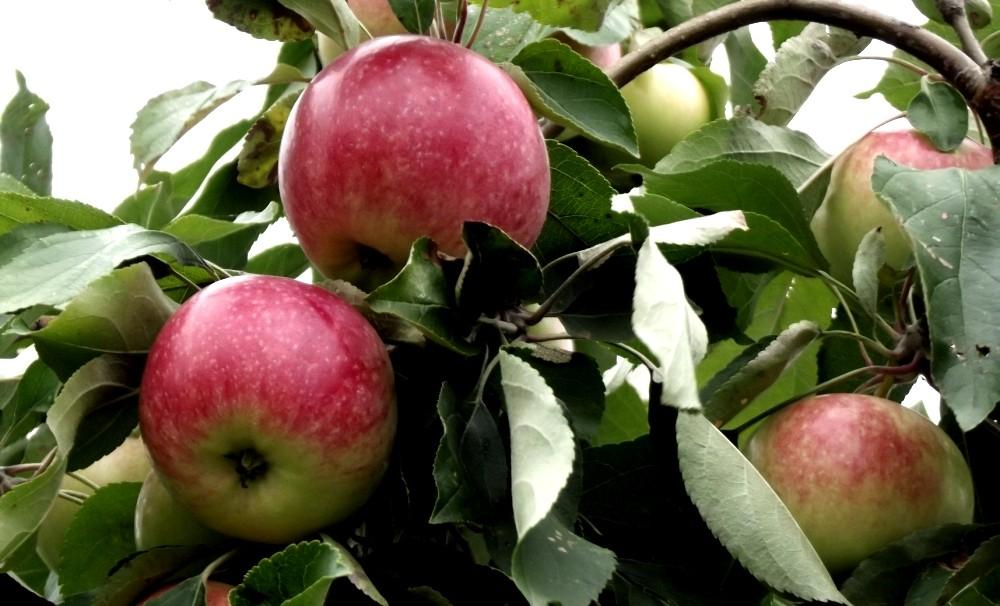 для контраста сорт яблони клубничное фото расположения пальцев также