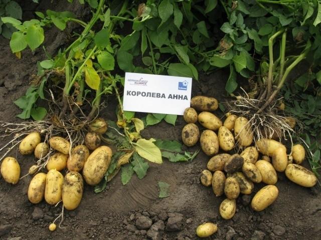 картофель королева анна