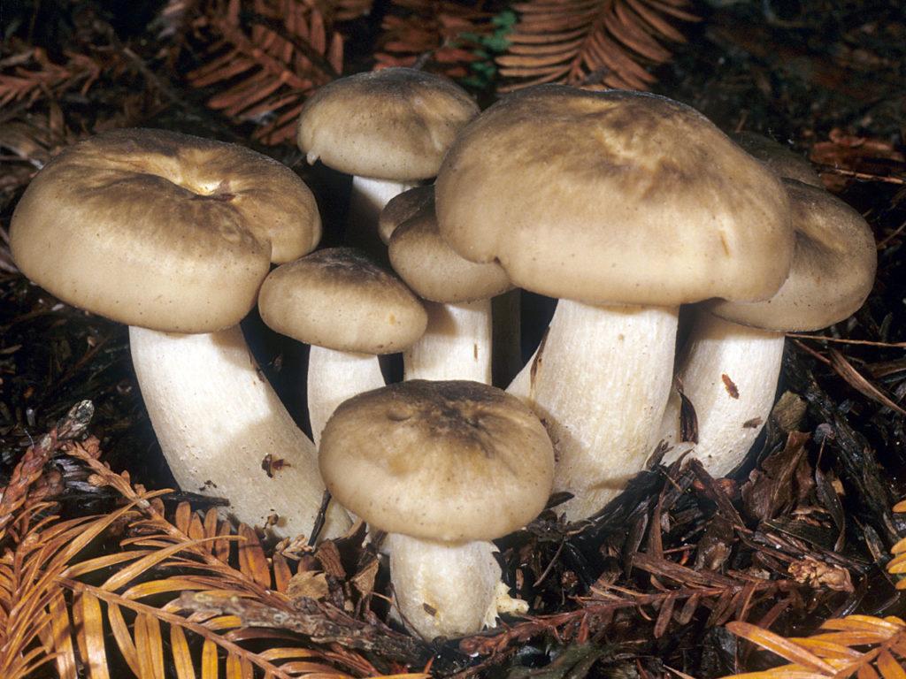 корстоне фото грибов рядовок съедобных причины появления