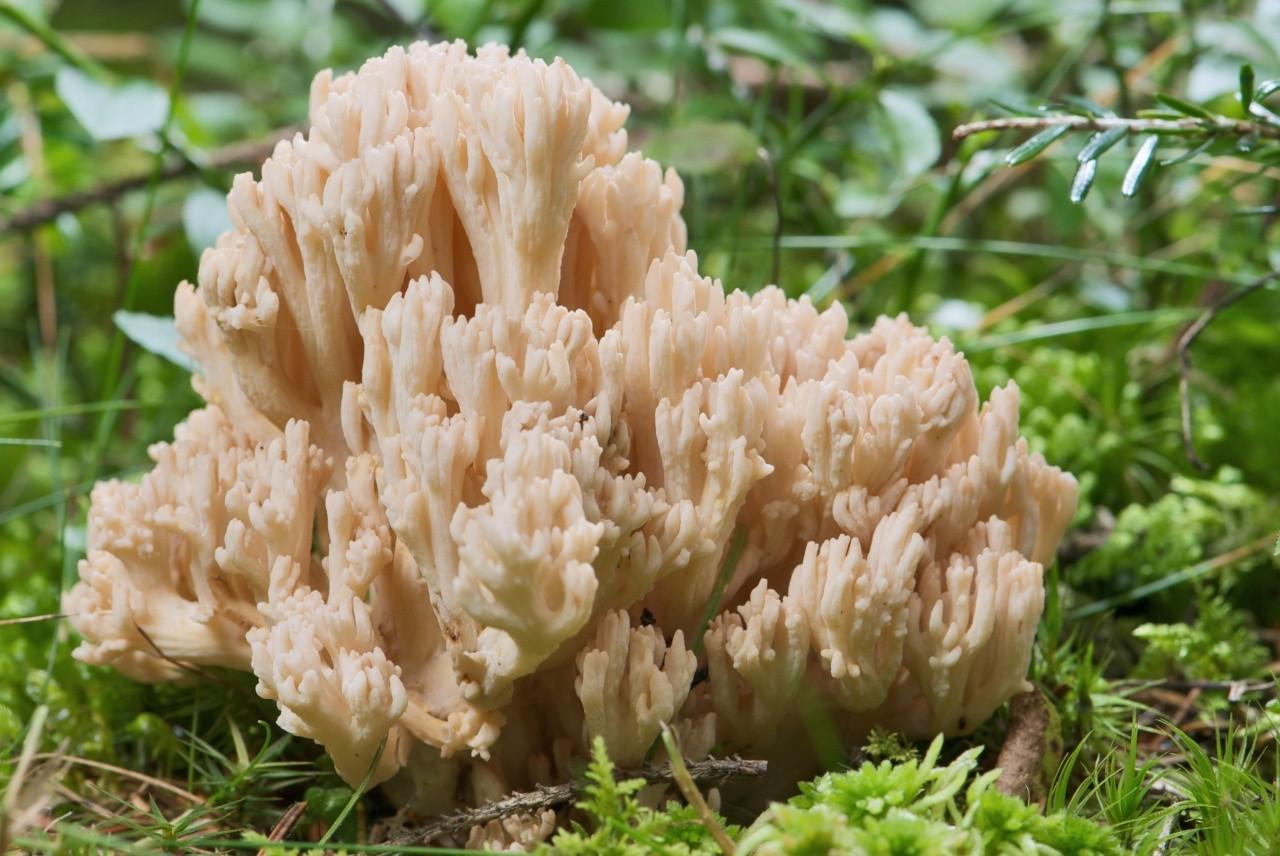 Коралловый гриб красивейший