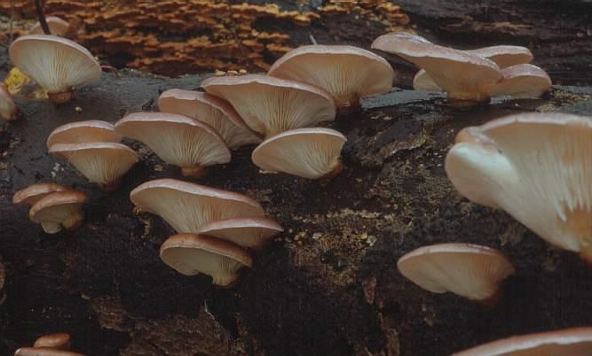 Светящийся гриб японский
