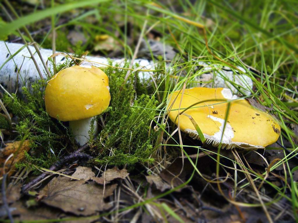 Сыроежка светло-желтая