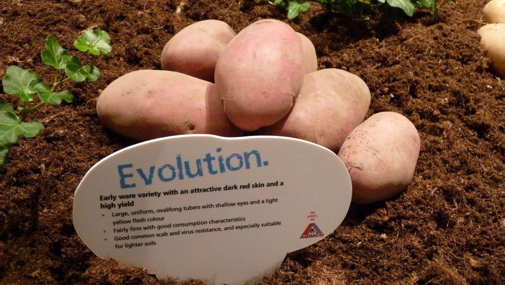 картофель эволюшн