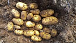 картофель джувел