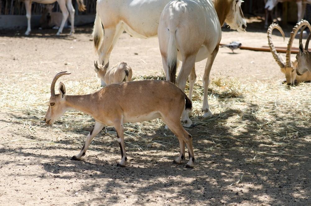 Безоаровый козел