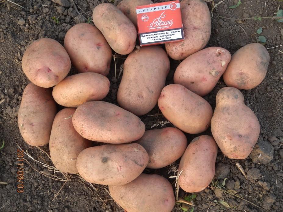 картофель славянка