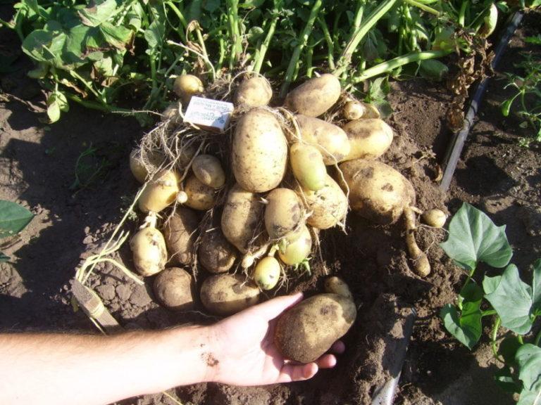 картофель джелли
